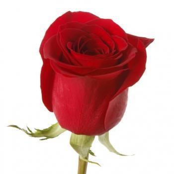 Голландская роза (поштучно)